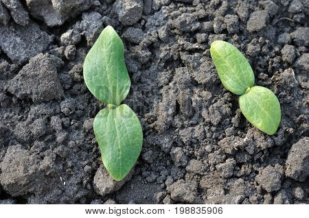 close-up of pumpkin sprouts in the ground