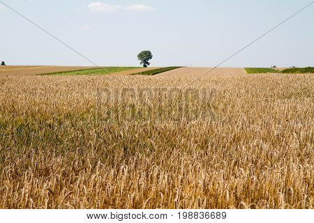A Field Of Rye right before harvest