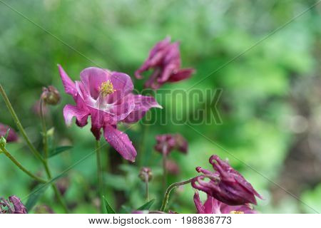Pink flower of Aquilegia on the green blurred background with bokeh
