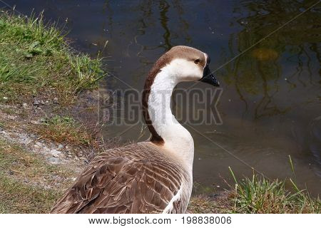 Brown and white goose appears to be a domestic variety but it was living with wild Mallard ducks in an Idaho park.