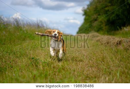 The Beagle dog running on grass clippings with a stick while walking