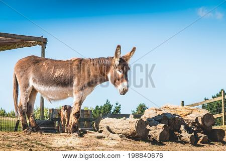 Brown And White Donkey Sleeps In A Meadow