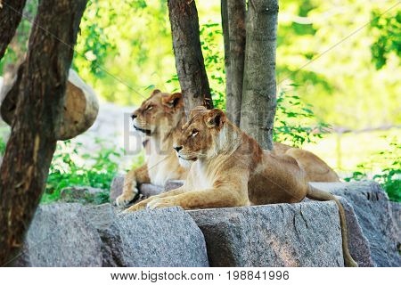 Lion and lioness rests on a stone in summer