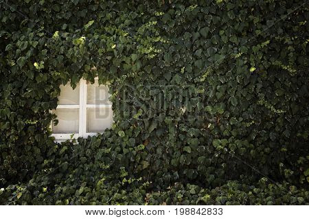 Overgrown old wall of a house with a small window. Nature in the city