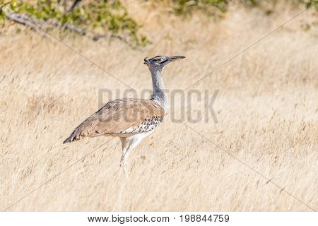 A Kori Bustard Ardeotis kori in Northern Namibia. It is the biggest bird capable of flying