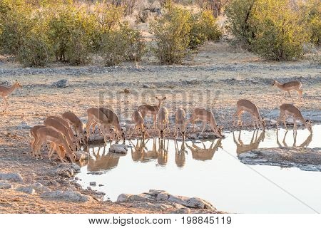 A herd of black-faced impala Aepyceros melampus at a waterhole in Northern Namibia. Only females ana a sub-adult male are visible