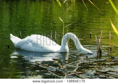 Swan Diver, Close Wiev On White Swan With His Head Under Water