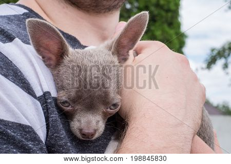 Little Chihuahua puppy on his hands..Puppy chocolate color