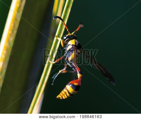 Tropical wasp on leaf. Thread-waisted wasp on palm leaf. Unusual exotic tropical insect. Natural pollinator on tropical leaf. Yellow red wasp in sunlight. Exotic insect in nature. Tropical threat