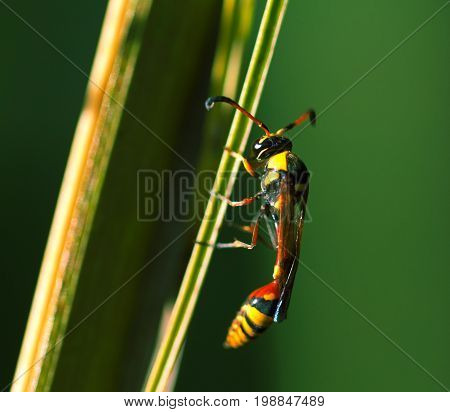 Tropical insect in nature. Thread-waisted wasp on palm leaf. Unusual exotic tropical wasp. Natural pollinator on tropical leaf. Yellow red wasp in sunlight. Exotic insect in nature. Tropical threat
