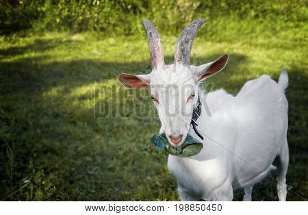 Beautiful young white horned goat chewing a cabbage leaf on a beautiful blurred green background. The horizontal frame.