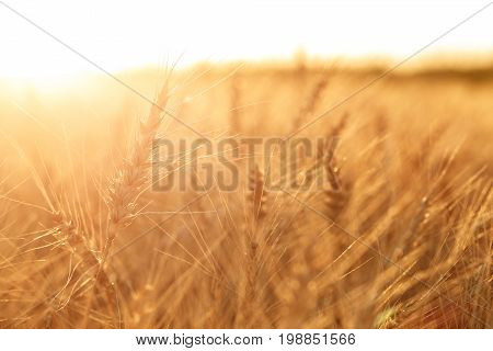 Wheat field. Ears of golden wheat close up. Rural Scenery under Shining sunset. close-up . Background of ripening ears of meadow wheat field. Rich harvest Concept