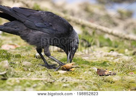 A Jackdaw eating a crab claw held in it's foot