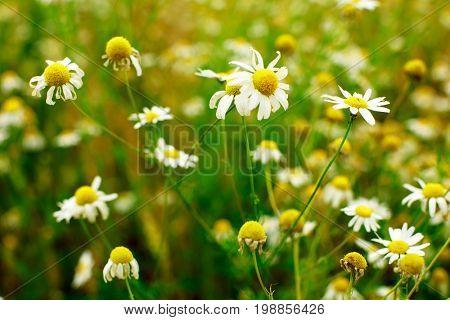 Summer field of daisy flowers, meadow chamomile flowers