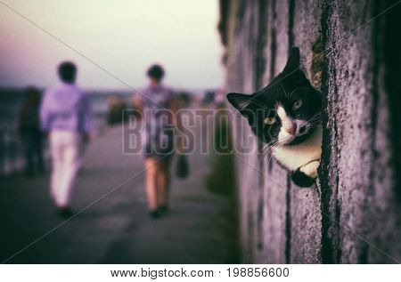 Cute black and white cat peeking in a hole of a wall