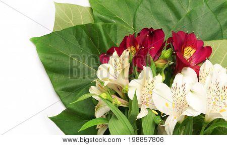 Flower Alstroemeria on a white background