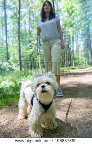 Woman walking with Maltese dog in the summer park.