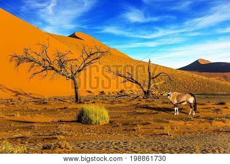 Sunset in the Namib Desert, the oldest in the world. African Oryx gaselle standing at the road. Namibia, South Africa. The concept of extreme and exotic tourism