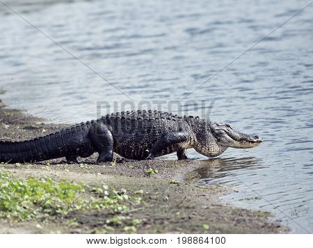 Large American Alligator goes to the lake