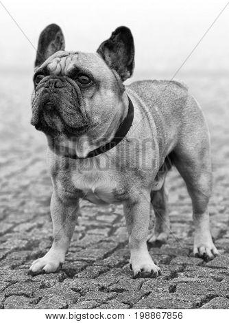 Dog portrait in black/white