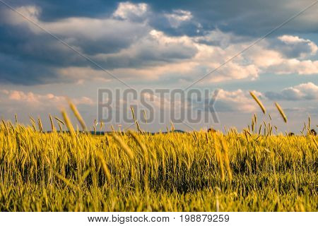 Golden yellow wheat field in warm sunshine under dramatic sky, fresh vibrant colors, at Rhine Valley (Rhine Gorge) in Germany