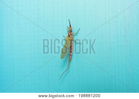 Closeup of mayfly sitting on retro blue wall in summer. Yellow color detailed seen from above. Summer insect concept and background with space for text.