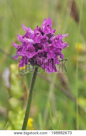 Betony - Stachys officinalis A Rough Grassland Flower
