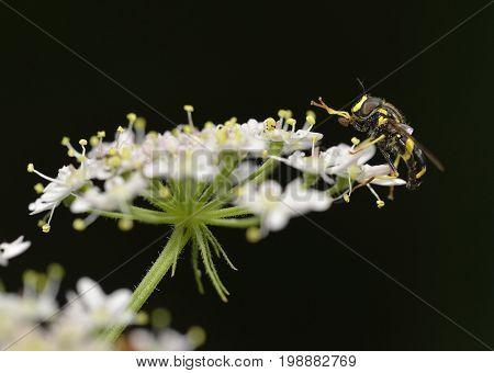 Hoverfly - Chrysotoxum Bicinctum
