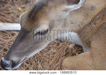 young deer with no antlers looking down