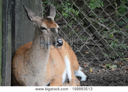 deer with no antlers sitting in mud