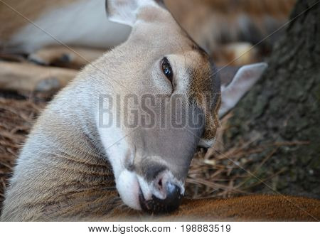 young deer no antlers scratching an itch