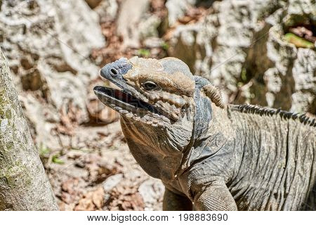 Iguana with mouth open red tongue and saliva in its natural habitat in the Caribbean matching the coloration of its surroundings trait known as Crypsis. On a hot day in full sun.