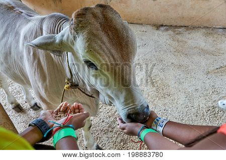 A calf being fed by two pairs of kids' hands. The baby cow seems to be enjoying the meal. One kid is actually feeding while another is waiting for his turn. A lesson in farming animal interaction.