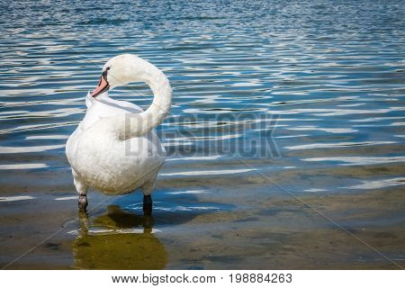 White swan cleaning itself on a lakeshore