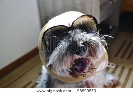 Funny headshot portrait of fashionable and stylish dog all dressed up with shades and scarf to go out in summer