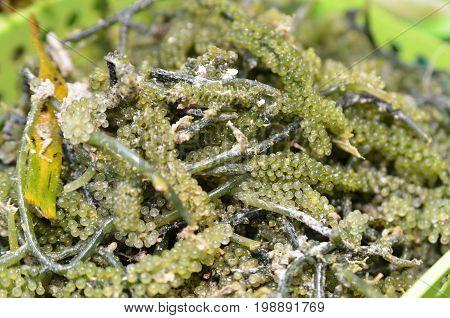 Oval Sea Grapes Seaweed
