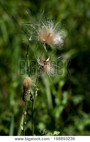 The Canada thistle (Cirsium arvense) mature seeds.