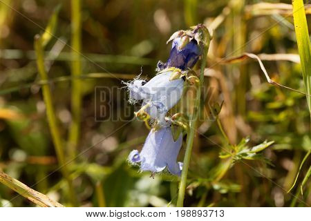 Flower of a Bearded Bellflower (Campanula barbata)