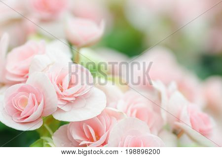 Pink rose begonia blossom in a garden,Softness flower background