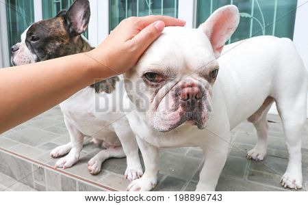 touch a dog , French bulldog on the floor