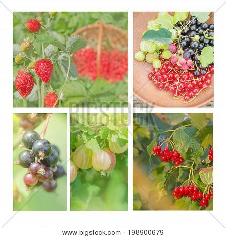 Collection Of Wild Berries. Collage Of Fresh Berries