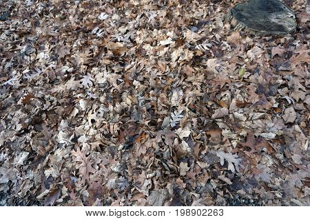 Fallen leaves rot on the forest floor of the Hammel Woods Forest Preserve in Shorewood, Illinois, during December.