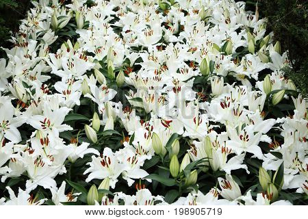 Group of white liliies in full bloom in the field