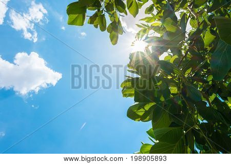 Looking Up At Sun Burst Behind Tree Leaf With Cloud And Blue Sky In Nice Weather Day.