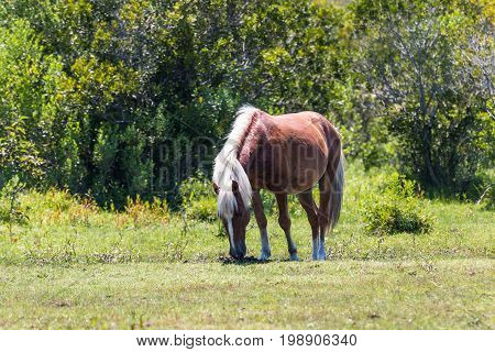A single wild Spanish Mustang grazing in a pasture in Corolla, North Carolina.