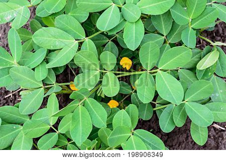 Young groundnut or peanut leaves on a bed. Background