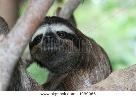 Sloth_In_Tree