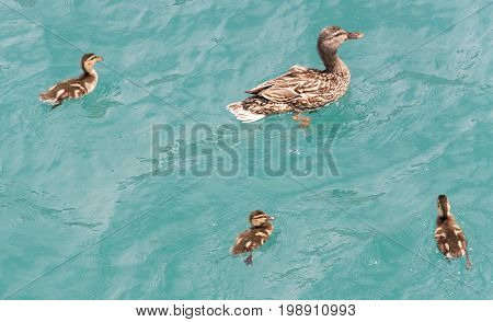 Duck With A Little Ducklings Swimming In A Lake