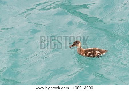Young Little Duckling Swimming In The Lake