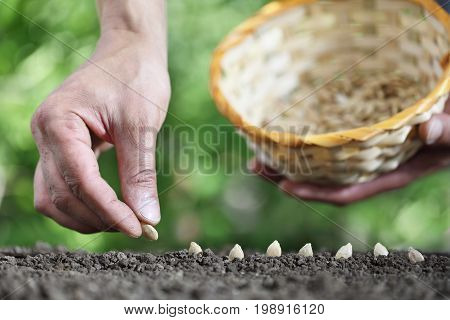 hand sowing seeds in the vegetable garden soil close up with basket on green background